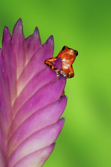 South America, Panama. Strawberry poison dart frog on bromeliad flower.-Jaynes Gallery-Premium Photographic Print