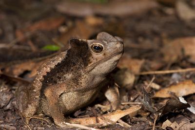 South American Crested Toad, Yasuni NP, Amazon Rainforest, Ecuador-Pete Oxford-Photographic Print