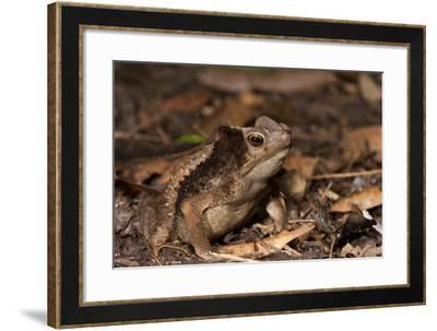 South American Crested Toad, Yasuni NP, Amazon Rainforest, Ecuador-Pete Oxford-Framed Photographic Print