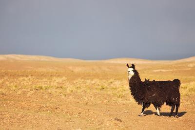 South American Llama-zanskar-Photographic Print
