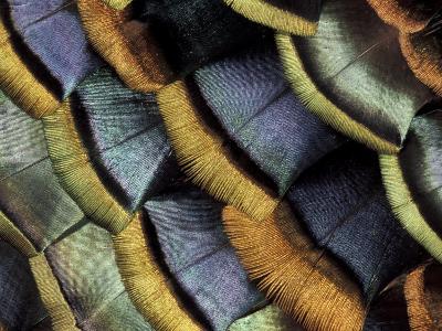 South American Ocellated Turkey-Darrell Gulin-Photographic Print