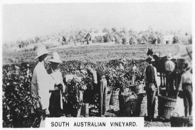 South Australian Vineyard, 1928--Giclee Print