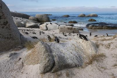 South Cape Town, Simon's Town. African Penguins at Foxy Beach-Cindy Miller Hopkins-Photographic Print