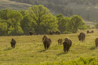South Dakota, Custer State Park. Bison Herd in Field-Jaynes Gallery-Photographic Print