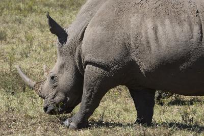 South Durban. Tala Game Reserve. White Rhino-Cindy Miller Hopkins-Photographic Print