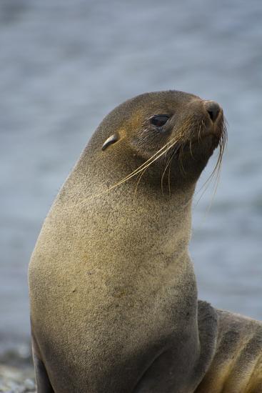 South Georgia. Antarctic Fur Seal, Arctocephalus Gazella-Inger Hogstrom-Photographic Print