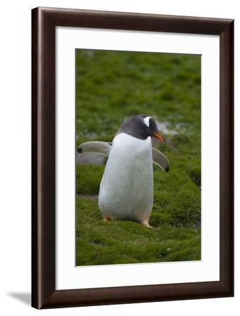 South Georgia. Gentoo Penguin, Pygoscelis Papua-Inger Hogstrom-Framed Photographic Print
