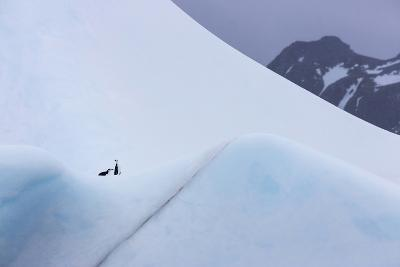 South Georgia Island. Chinstrap Penguins Ride an Iceberg as it Floats by Mountain-Jaynes Gallery-Photographic Print