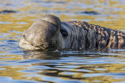 South Georgia Island, Godthul. Close-Up of Male Elephant Seal in Water-Jaynes Gallery-Photographic Print
