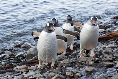 South Georgia Island, Godthul. Gentoo Penguins on Shore-Jaynes Gallery-Photographic Print