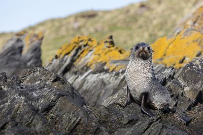 South Georgia Island, Ocean Harbor. Fur Seal Pup on Rocks-Jaynes Gallery-Photographic Print