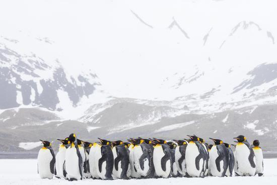 South Georgia Island, Right Whale Bay. Penguins Huddle Together in Snowstorm-Jaynes Gallery-Photographic Print