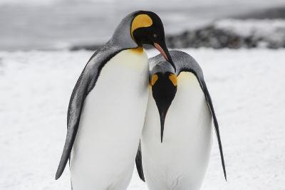 South Georgia Island, Salisbury, Plain, King Penguins-Hollice Looney-Photographic Print