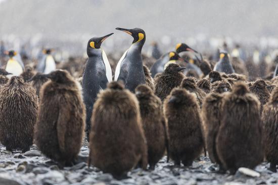 South Georgia Island, Salisbury Plains. Adult King Penguins Amid Juveniles During Rainstorm-Jaynes Gallery-Photographic Print