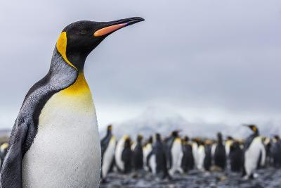 South Georgia Island, Salisbury Plains. Close-Up of King Penguin-Jaynes Gallery-Photographic Print