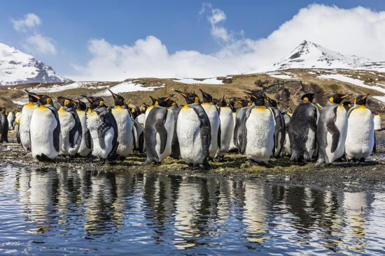 South Georgia Island, Salisbury Plains. Group of Molting King Penguins Reflect in Stream-Jaynes Gallery-Photographic Print