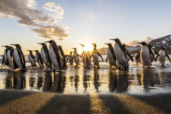 South Georgia Island, St. Andrew's Bay. King Penguins on Beach at Sunrise-Jaynes Gallery-Photographic Print