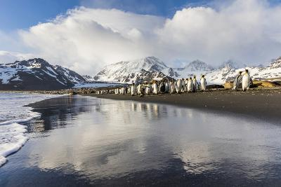 South Georgia Island, St. Andrew's Bay. King Penguins Walk on Shore at Sunrise-Jaynes Gallery-Photographic Print