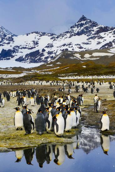 South Georgia Island, St. Andrew's Bay, King Penguins-Hollice Looney-Premium Photographic Print