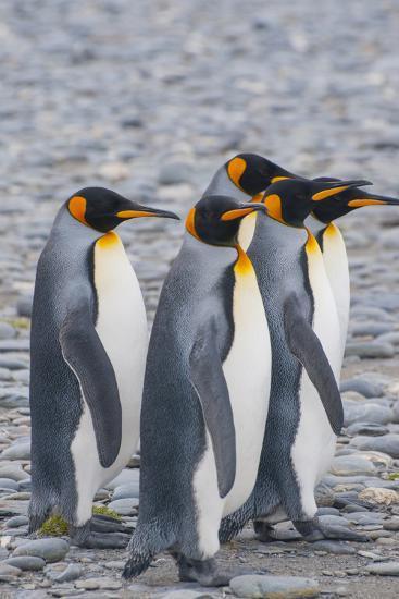 South Georgia. King Penguins Walking on the Beach-Inger Hogstrom-Photographic Print