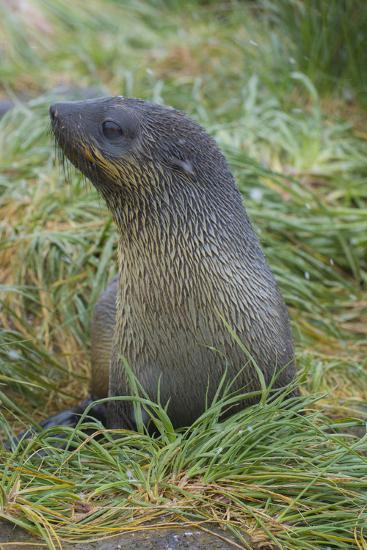 South Georgia. Prion Island. Antarctic Fur Seal in Tussock During Snow-Inger Hogstrom-Photographic Print