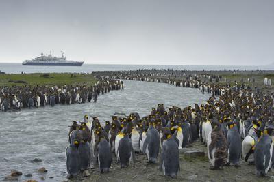 South Georgia. Saint Andrews. Crowd of King Penguins Line a Stream-Inger Hogstrom-Photographic Print