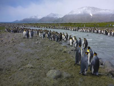 South Georgia. Saint Andrews. King Penguin and a Fast Moving Stream-Inger Hogstrom-Photographic Print