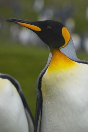 https://imgc.artprintimages.com/img/print/south-georgia-saint-andrews-king-penguin-aptenodytes-patagonicus_u-l-pu3lw60.jpg?p=0