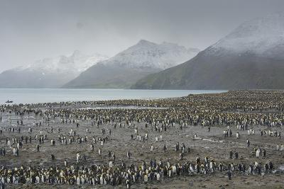 South Georgia. Saint Andrews. View of the Huge King Penguin Colony-Inger Hogstrom-Photographic Print