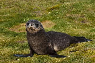 South Georgia. Salisbury Plain. Antarctic Fur Seal Pup-Inger Hogstrom-Photographic Print