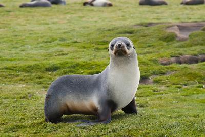 South Georgia. Salisbury Plain. Antarctic Fur Seal Standing-Inger Hogstrom-Photographic Print
