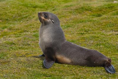 South Georgia. Salisbury Plain. Antarctic Fur Seal-Inger Hogstrom-Photographic Print
