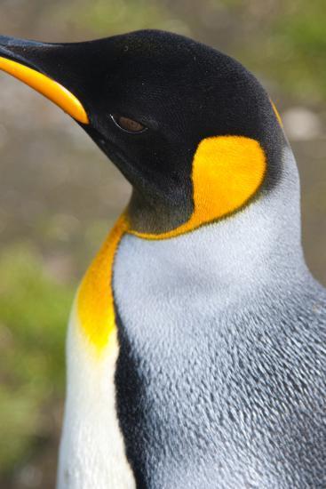 South Georgia. Salisbury Plain. King Penguin, Aptenodytes Patagonicus-Inger Hogstrom-Photographic Print