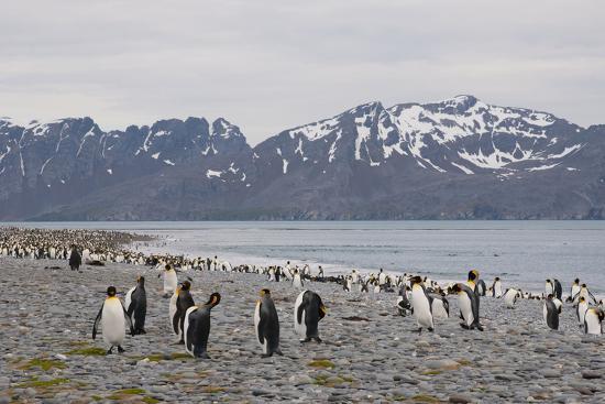 South Georgia. Salisbury Plain. King Penguins, Aptenodytes Patagonicus-Inger Hogstrom-Photographic Print