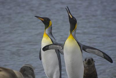 South Georgia. Stromness. King Penguin Calling for its Mate-Inger Hogstrom-Photographic Print
