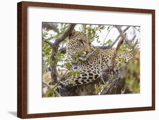 South Londolozi Private Game Reserve. Leopard in Tree with Kill-Fred Lord-Framed Photographic Print