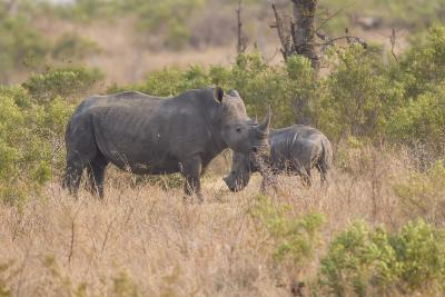 South Londolozi Private Game Reserve. Rhinoceros Mother and Offspring-Fred Lord-Photographic Print