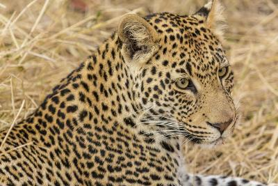 South Ngala Private Game Reserve. Close-up of Adult Leopard-Fred Lord-Photographic Print
