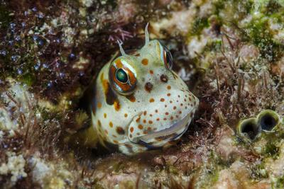 https://imgc.artprintimages.com/img/print/south-pacific-solomon-islands-redspotted-blenny-fish-amid-coral_u-l-q1czgb50.jpg?p=0