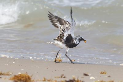 South Padre Island, Texas. Black Bellied Plover with Meal-Larry Ditto-Photographic Print