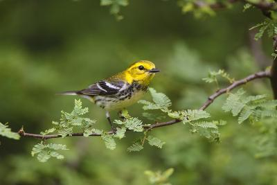 South Padre Island, Texas. Black Throated Green Warbler Feeding-Larry Ditto-Photographic Print