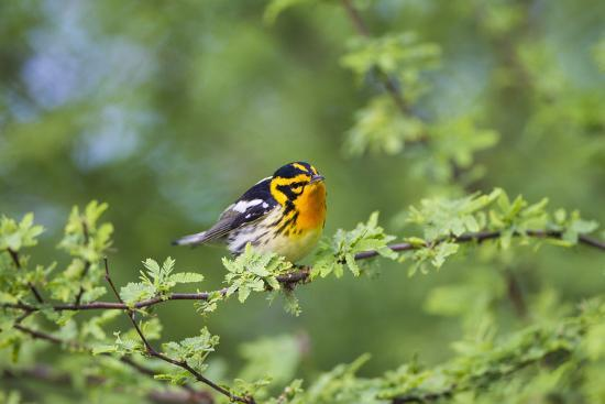South Padre Island, Texas. Blackburnian Warbler Feeding-Larry Ditto-Photographic Print