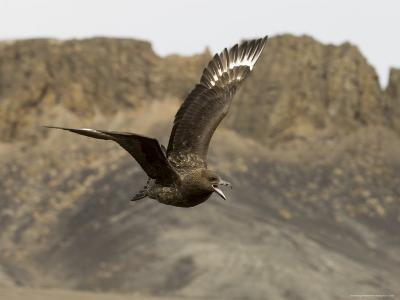South Polar Skua (Stercorarius Maccormicki), Telephone Bay, Deception Island, Antarctica-Sergio Pitamitz-Photographic Print