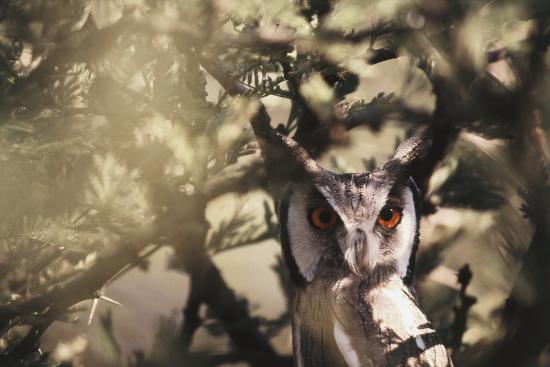Southern Africa, Botswana, Spotted Eagle Owl, Bubo Africanus-Stuart Westmorland-Photographic Print