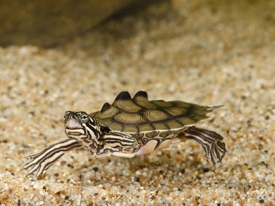 Southern Black-Knobbed Map Turtle (Graptemys Nigrinoda Delticola) Swimming-Joe McDonald-Photographic Print