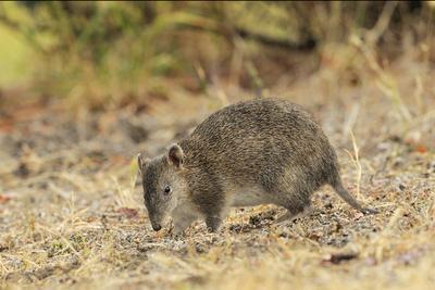 https://imgc.artprintimages.com/img/print/southern-brown-bandicoot-isoodon-obesulus-digging-tasmania-australia_u-l-q13a8sm0.jpg?p=0