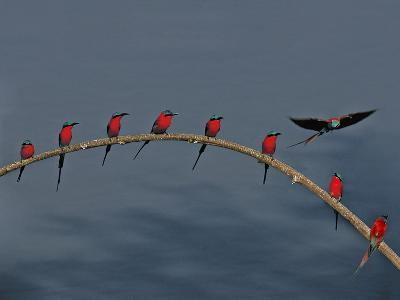 Southern Carmine Bee Eaters, Luangwa Valley, Zambia-Frans Lanting-Photographic Print