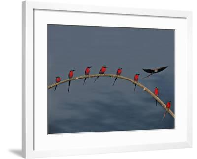 Southern Carmine Bee Eaters, Luangwa Valley, Zambia-Frans Lanting-Framed Photographic Print