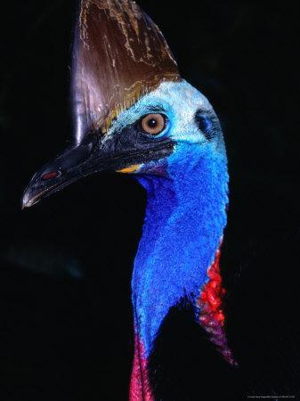 https://imgc.artprintimages.com/img/print/southern-cassowary-casuarius-casuarius-daintree-national-park-queensland-australia_u-l-p5cabq0.jpg?p=0