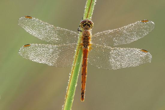 Southern Darter Dragonfly--Photographic Print